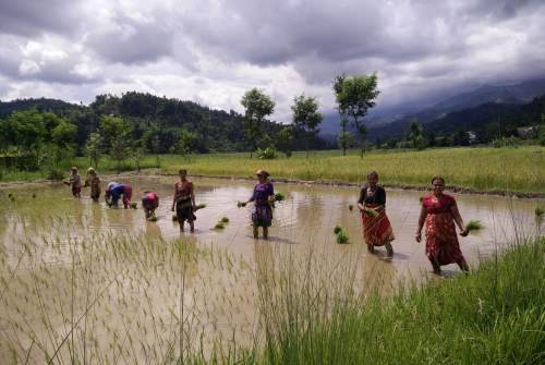 Rice farming in Nepal